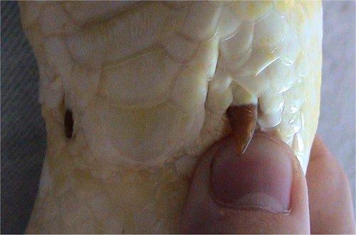 szczątkowe nogi