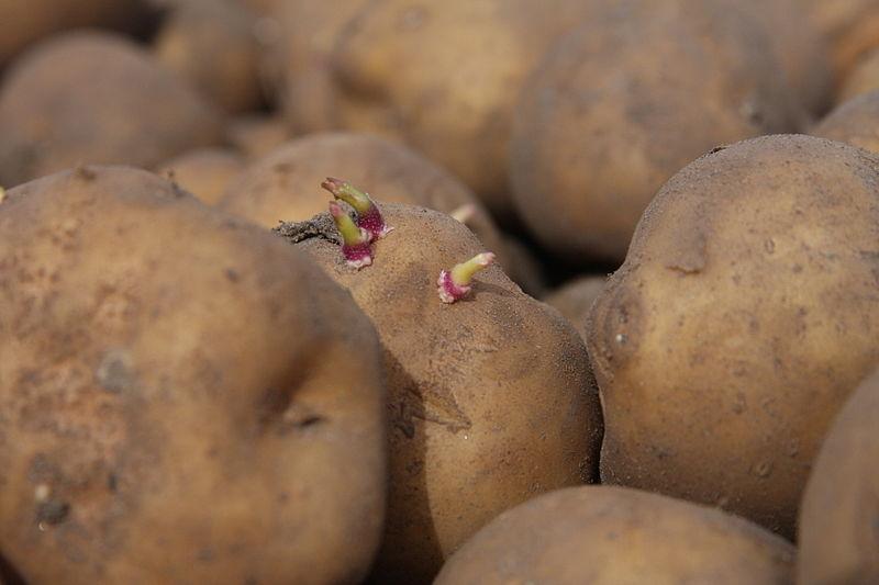 ziemniak amflora