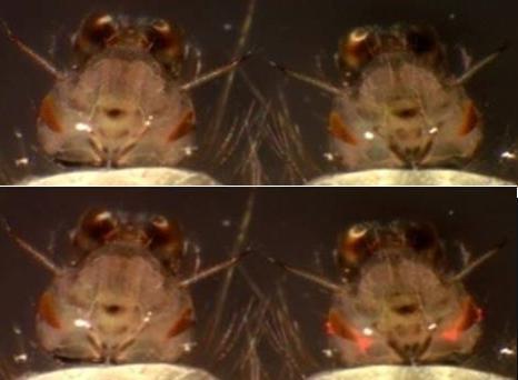 komary modyfikowane genetycznie