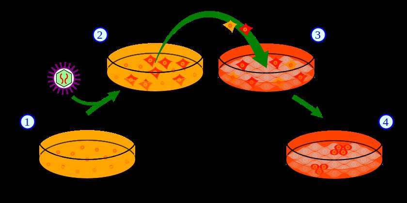 indukowane komórki macierzyste