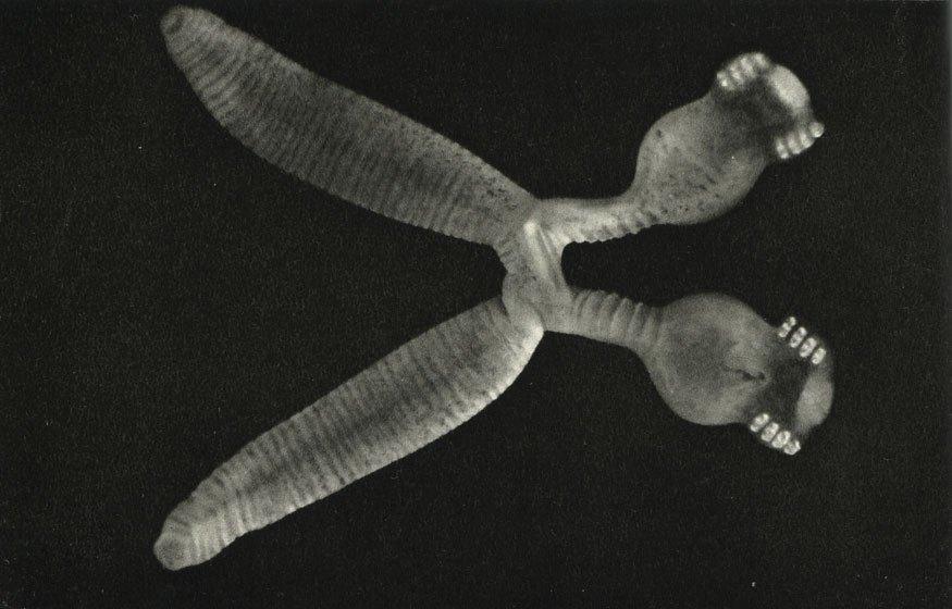 Diplozoon paradoxum