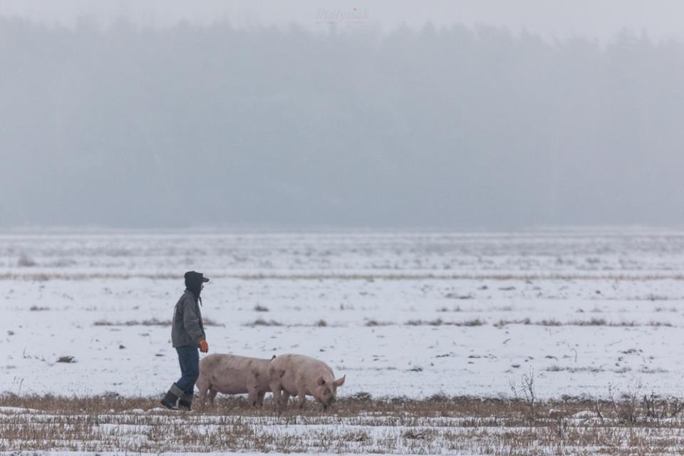 bioasekuracja świnie