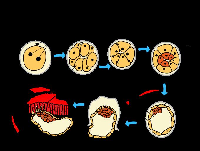 Zapłodnienie bruzdkowanie formowanie blastocysty