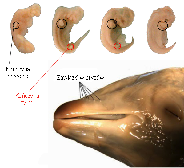 Delfin zarodek płód