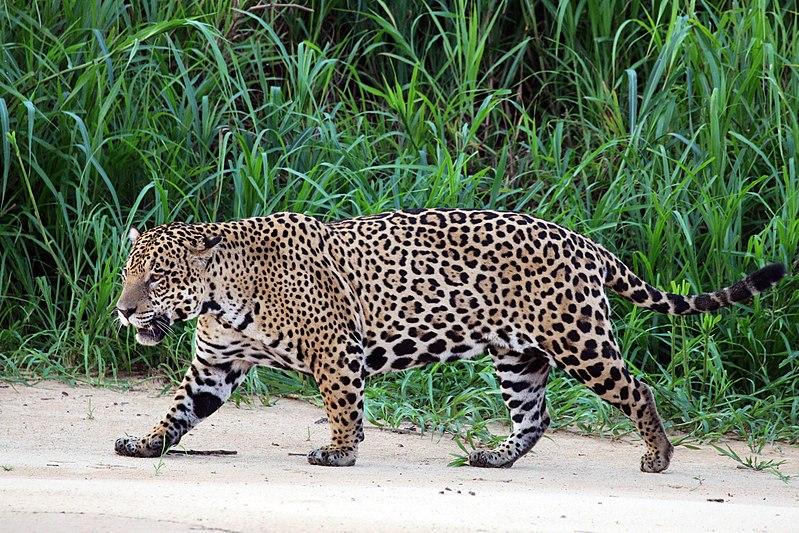 jaguar Amazonia
