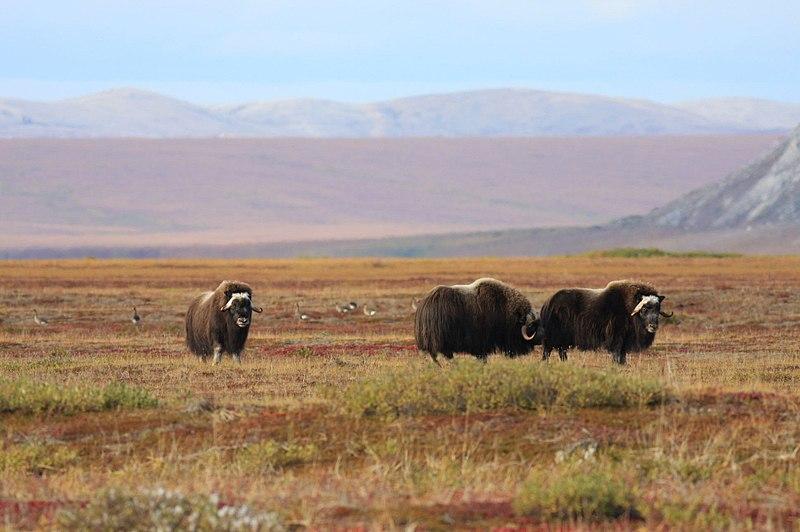 piżmowół arktyczny tundra