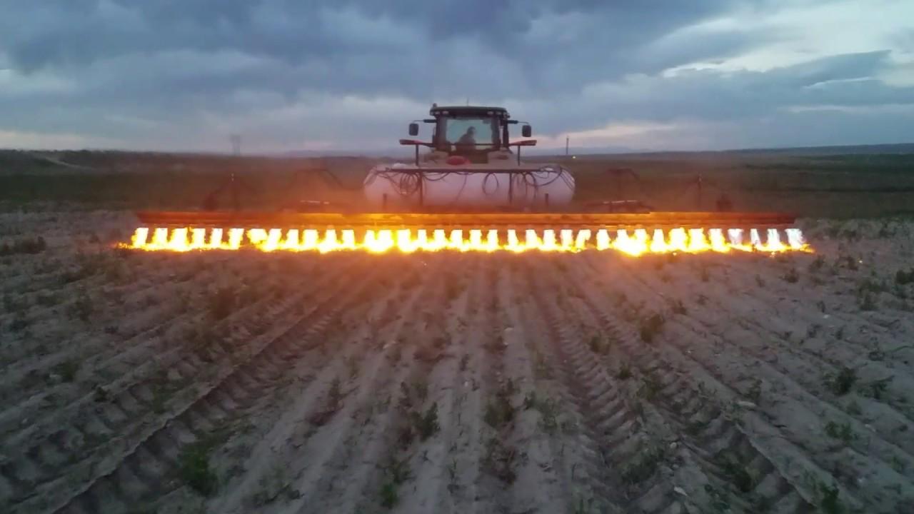 rolnictwo ekologiczne wypalanie chwastów