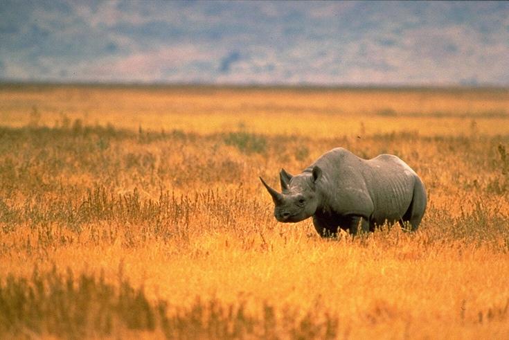 nosorożec czarny reintrodukcja
