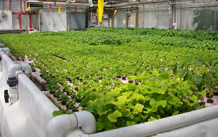 uprawa hydroponiczna